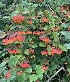Viburnum opulus 151595903.jpg