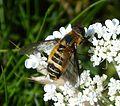 Villa cingulata . Bombyliidae - Flickr - gailhampshire (2).jpg