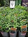 Vinca minor (Dwarf Blue Periwinkle)- invasive plant being sold in stores.jpg