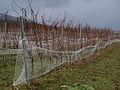 Vineyard in January (16241921681).jpg