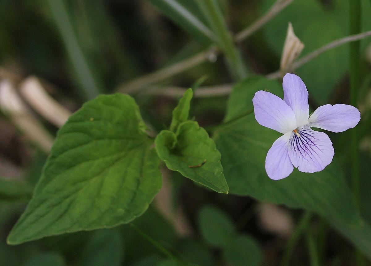 Viola Acuminata