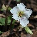 Viola keiskei (flower s7).jpg