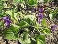 Viola odorata1.JPG