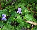 Viola riviniana 1.jpg