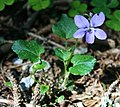 Viola riviniana 4.jpg