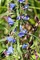 Viper's-bugloss. Echium vulgare (35015013524).jpg