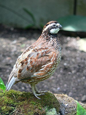 Northern bobwhite - Adult male