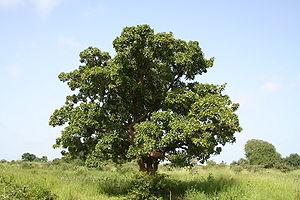 Vitellaria paradoxa (shea tree, karité), easte...
