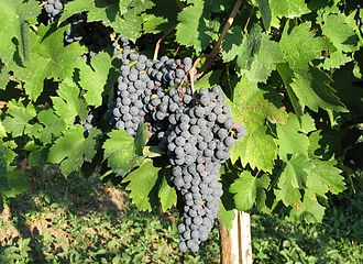 Lombardia (wine) - Croatina wine grapes in a vineyard of the Oltrepò Pavese