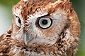 WR - Eastern Screch Owl 2 (5761430863).jpg