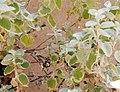 Wasp behavior - Helichrysum petiolare 2019 abc5.jpg