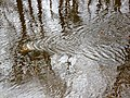 Water current patterns, Annick Water, Stewarton, East Ayrshire.jpg