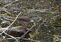 Waterthrush (33494085693).jpg