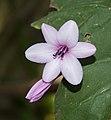 Watsonia at BBG (43479).jpg