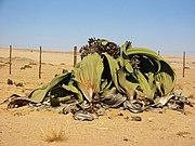 """A maior Welwitschia conhecida, apelidada de """"A grande Welwitschia"""", mede 1.4 m de altura e mais de 4 m de diametro."""
