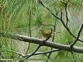 Western Crowned Warbler (Phylloscopus occipitalis) (24153891326).jpg