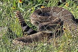 Western Diamondback Rattlesnake, Wichita Mountains Wildlife Refuge, SW Oklahoma, U.S.jpg