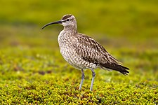 Whimbrel Numenius phaeopus.jpg
