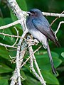 White-bellied Drongo (24059582092).jpg