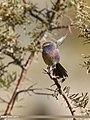 White-browed Tit Warbler (Leptopoecile sophiae) (24940084817).jpg