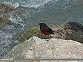 White-capped Redstart (Chaimarrornis leucocephalus) (15869951056).jpg