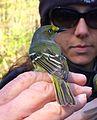 White-eyed vireo (Vireo griseus) at Clarks River National Wildlife Refuge.jpg