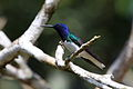 White-necked Jacobin.jpg