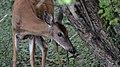 White-tailed Deer (Odocoileus virginianus) - Guelph, Ontario 01.jpg