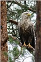 White-tailed Eagle - Europese Zeearend (14317087473).jpg