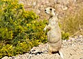 White-tailed prairie dog on Seedskadee National Wildlife Refuge (36749579876).jpg