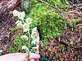 White-veined wintergreen - Flickr - brewbooks.jpg