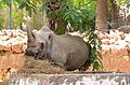 White Rhinoceros at Giza Zoo by Hatem Moushir 54.JPG