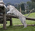 White Tiger 4 (3865795356).jpg