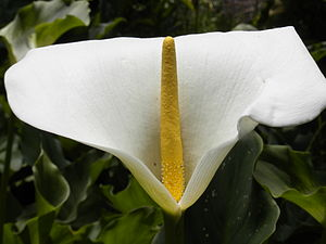 English: white and yellow flower