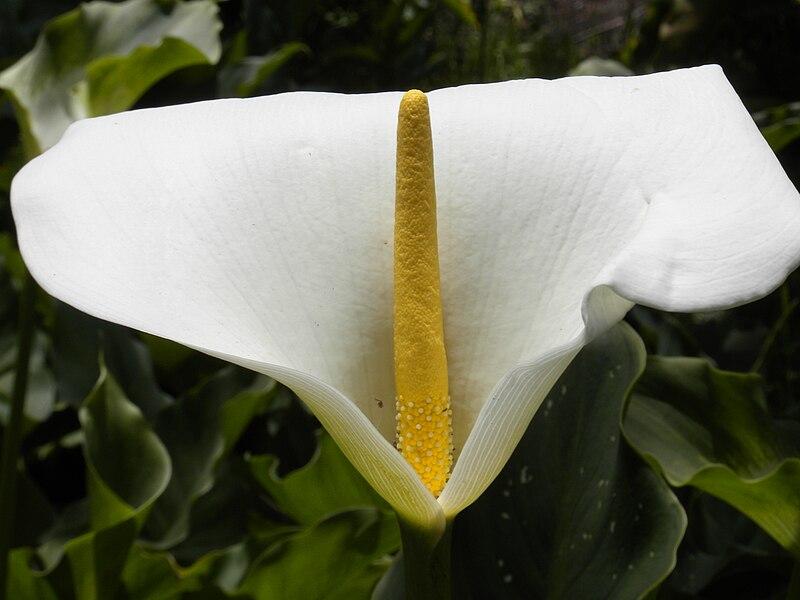 White Large Petal Flower Painting