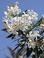 White oleander368.jpg