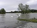 Wien - Hochwasser Juni 2013 - Schwäne.jpg