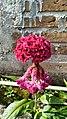 "Wild Flower called "" Jengger Ayam "".jpg"