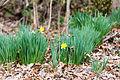 Wild daffodil (25537269402).jpg