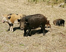 A Family Of Wild Pigs
