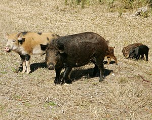 Feral pig - A family of wild pigs