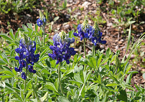 Lady Bird Johnson Wildflower Center - Lupines along trail, Wildflower Center
