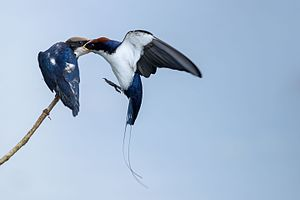 Parental care in birds - Wire-tailed swallow feeding the offspring