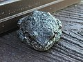 Wisconsin Toad.jpg