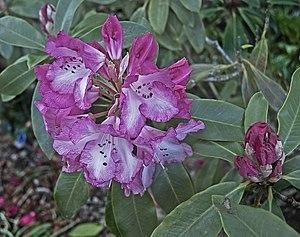 RHS Garden, Wisley - Pink rhododendron at RHS Wisley, 2013