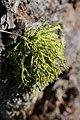 Wolf Lichen - Letharia vulpina (23258539322).jpg