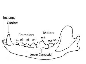 Carnivora - Carnivore (wolf) mandible diagram showing the names and positions of the teeth.