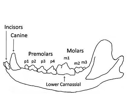 Carnivora wikiwand carnivore wolf mandible diagram showing the names and positions of the teeth ccuart Image collections