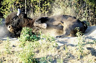 Wood Buffalo National Park - Image: Wood Buffalo NP Waldbison 3 98 07 02