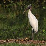 Wood stork (Mycteria americana) and Yacare caiman.jpg